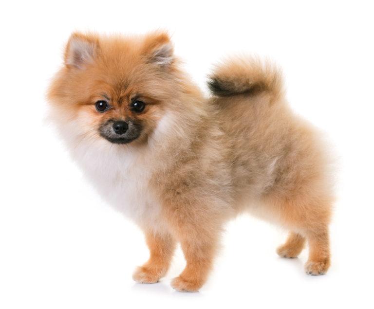 Câinele Pomeranian