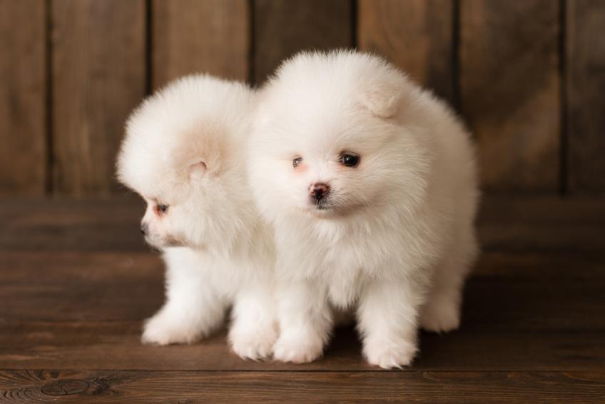 Pui de Pomeranian alb