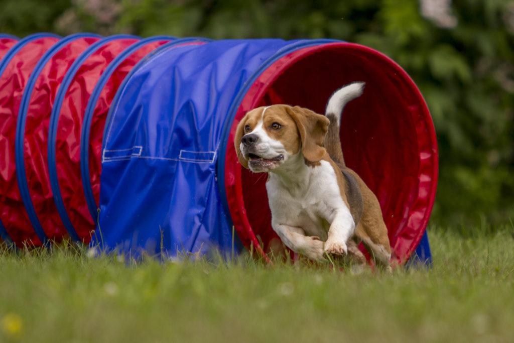 Agility sport pentru câini