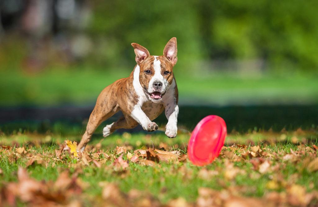 Frisbee cu un câine American Staffordshire Terrier