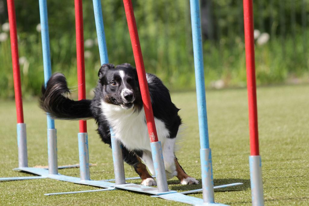 Sport și dresaj agility pentru câini