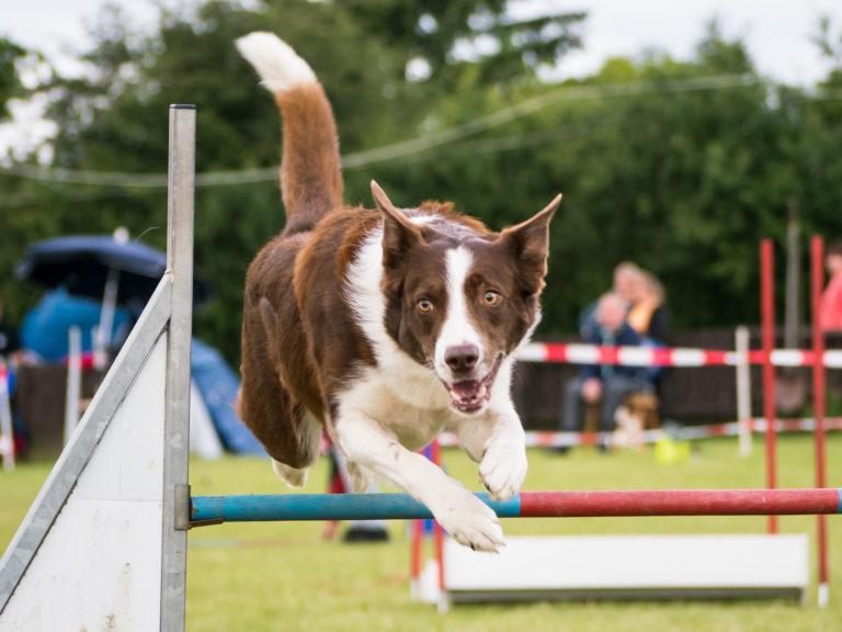 Sport canin. Border Collie excelează la Dog Agility