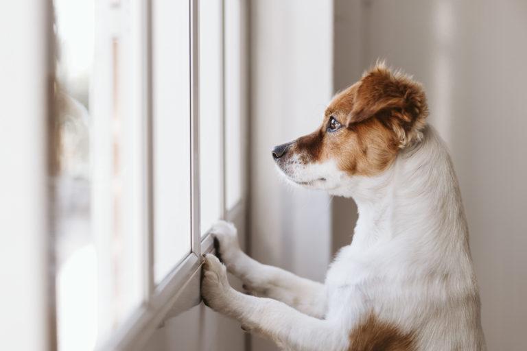 Câine pui singur acasă