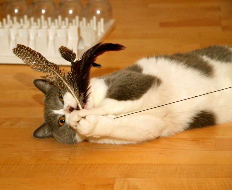 pisica se joaca cu undita