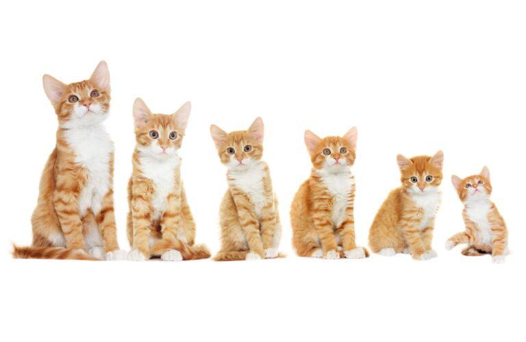 Cele 6 etape de creștere ale pisicii