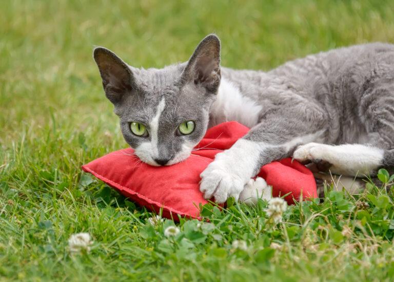 valeriana pisici