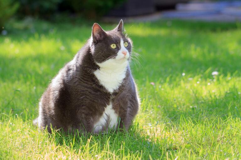 Ce pot face dacă am o pisică grasă? Obezitatea la pisici: cauze și urmări