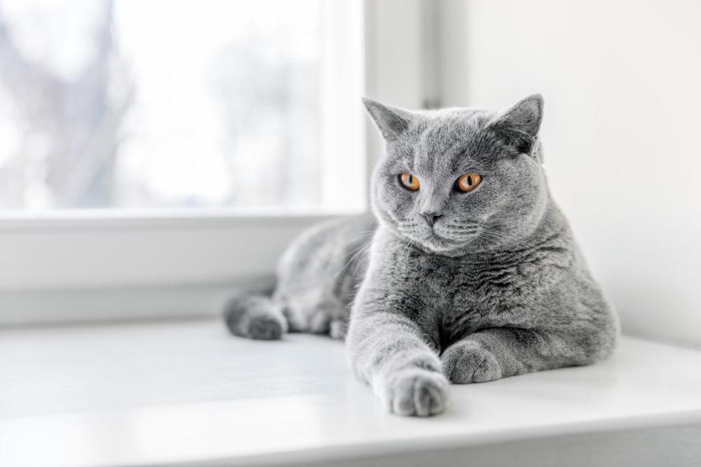 Pisica British Shorthair Adult