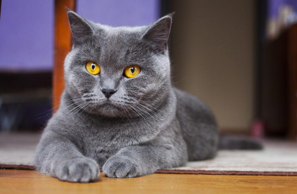 Pisica British Shorthair Albastru Gri