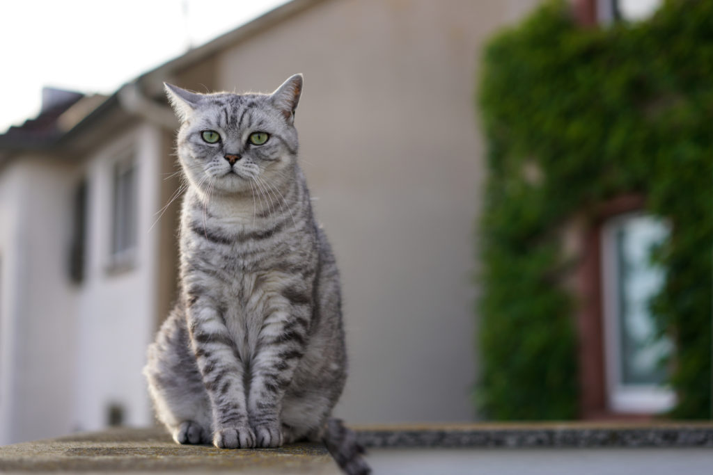Pisica British Shorthair Tabby Adult