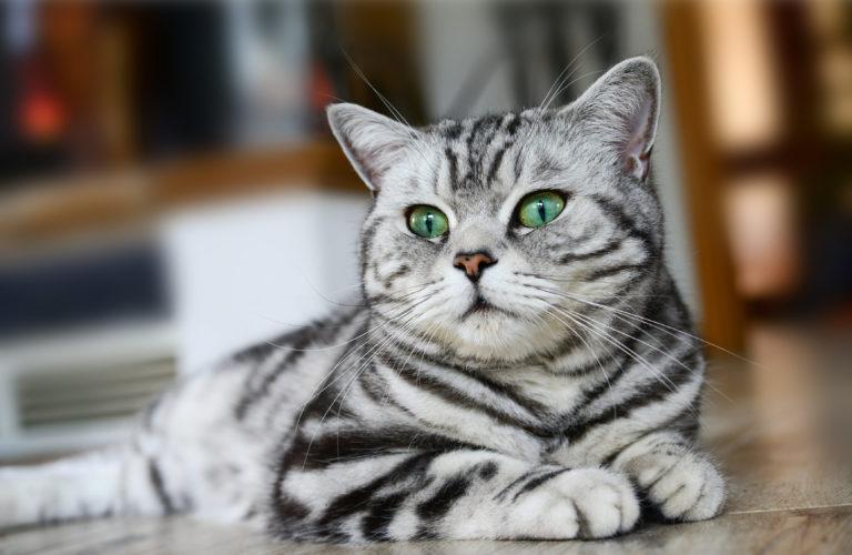 Pisica British Shorthair Tabby