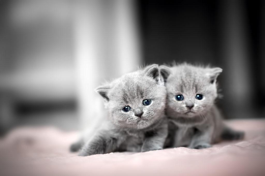 Pisici British Shorthair Pui