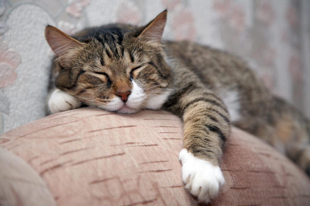 Calcul varsta la pisici