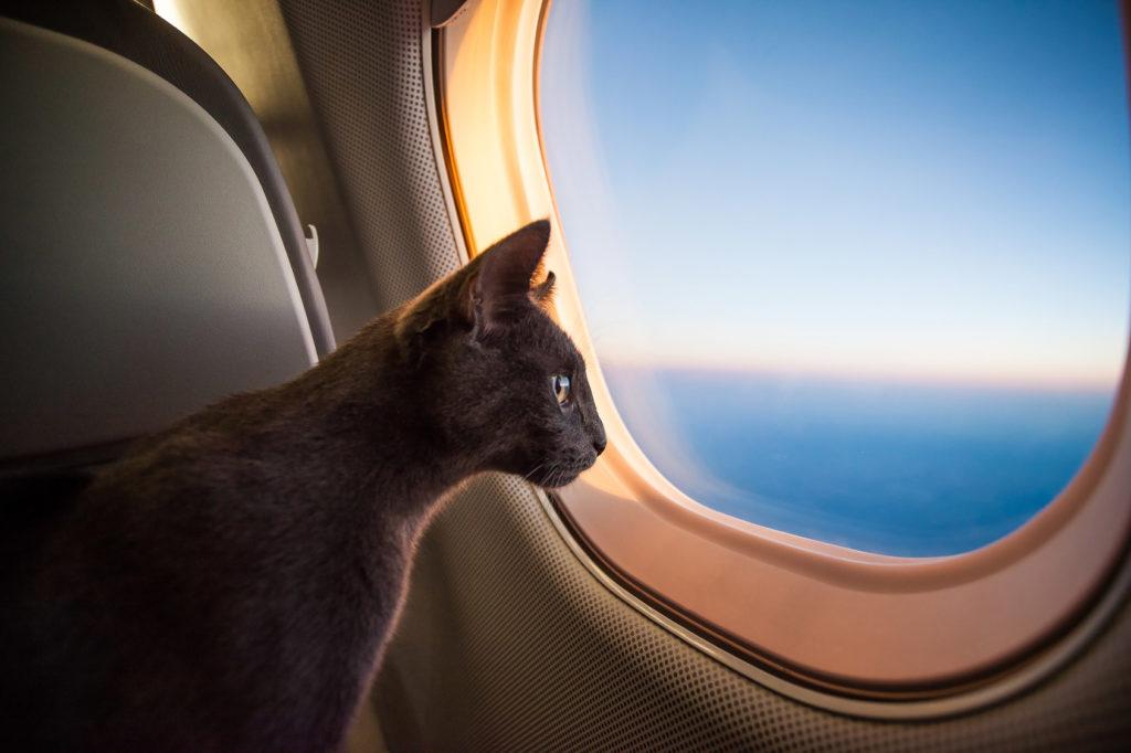 Pisica in avion