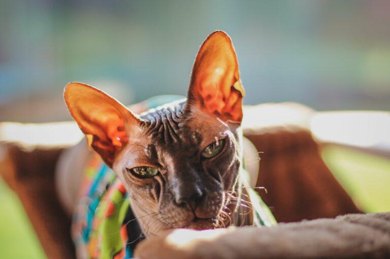 Pisica Sfinx gri adult