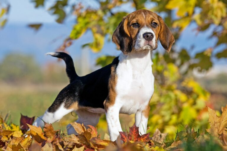 Câine Beagle în natură