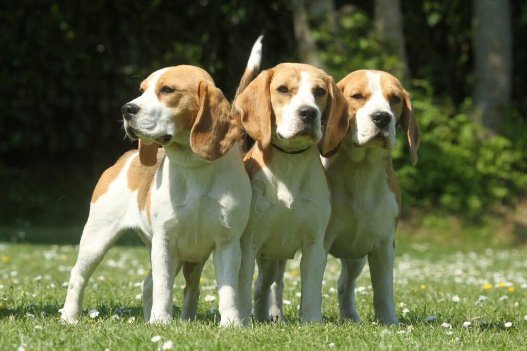 Caini Beagle in parc