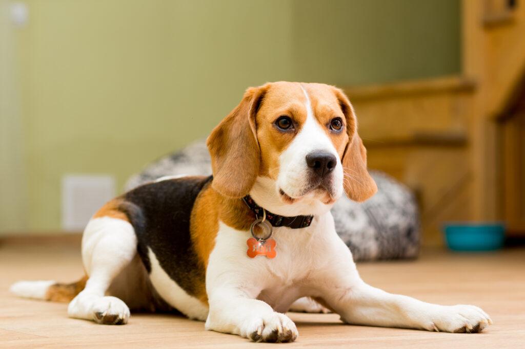 Caine Beagle in varsta de 2 ani, pe podea