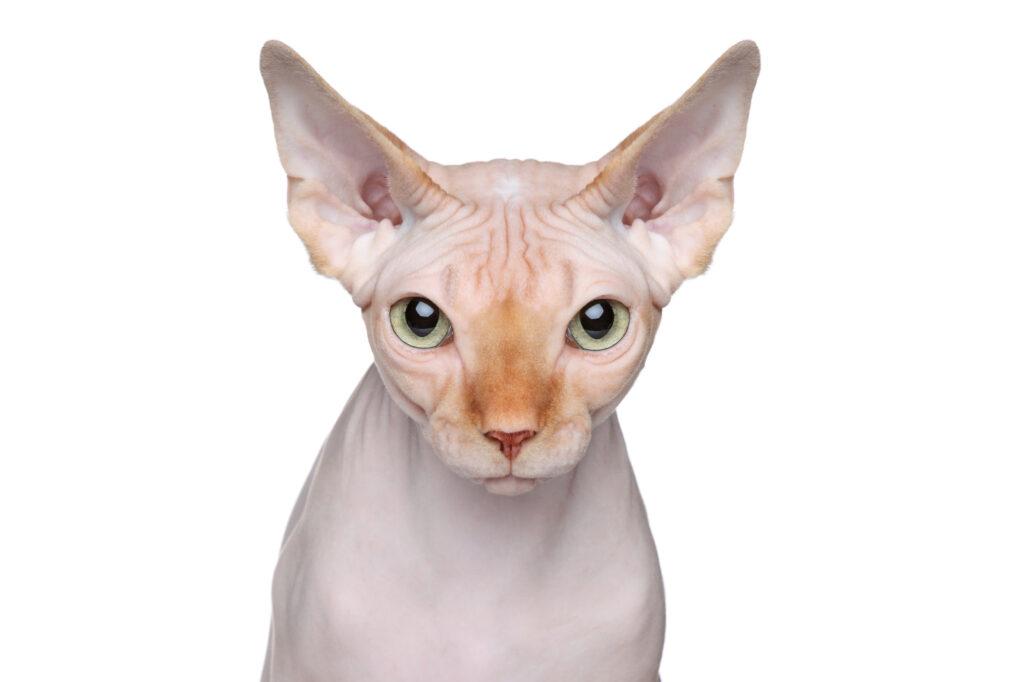 Pisică Sfinx portret pe fundal alb