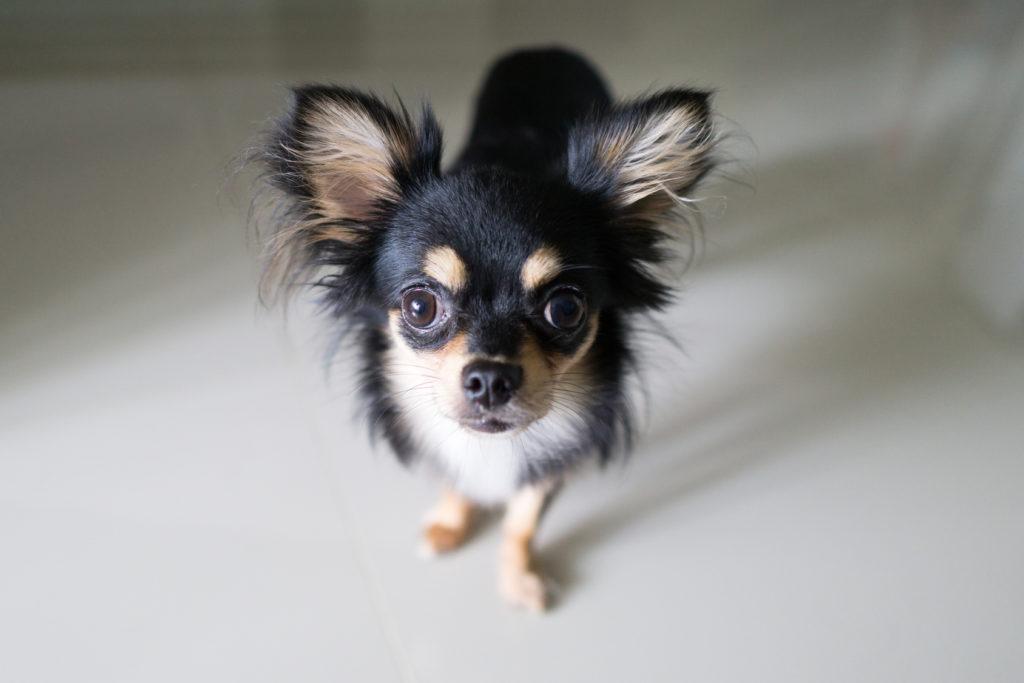 Caine Chihuahua negru adult