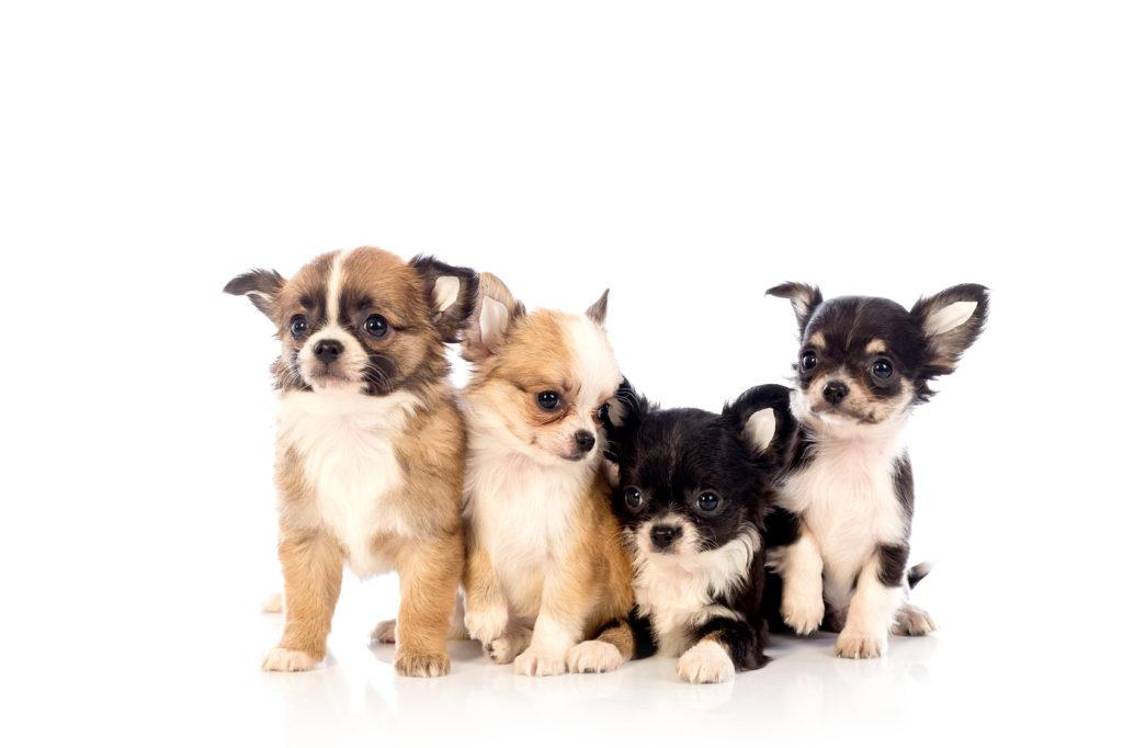 Caini Chihuahua pui