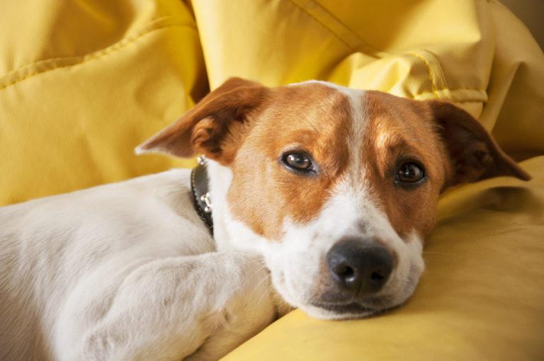 Intelege psihologia canina