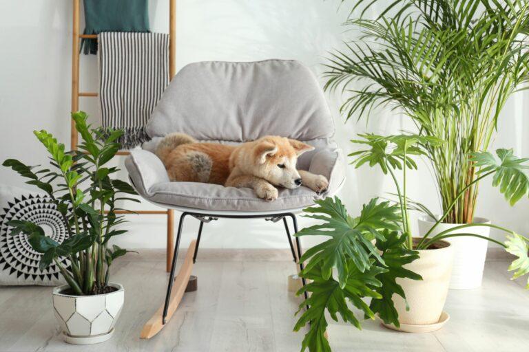 Un Akita tânăr stă printre diferite plante de apartament.