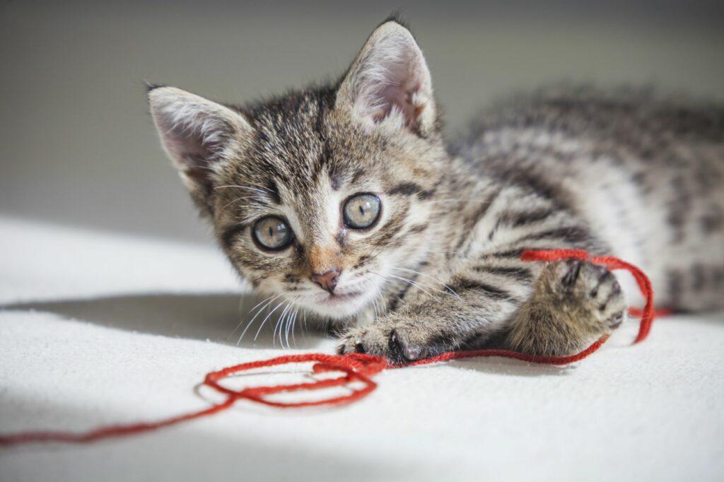Pisica se joacă cu un șnur